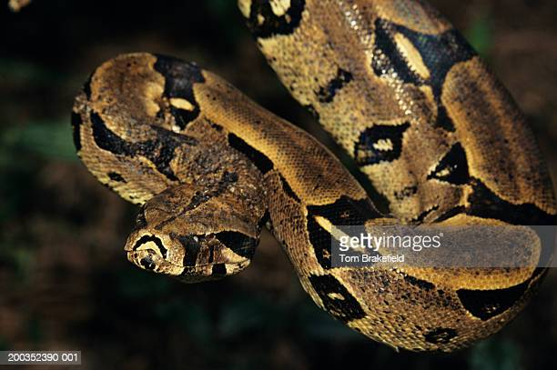 red-tailed boa (boa constrictor constrictor), brazil - boa constrictor stock photos and pictures
