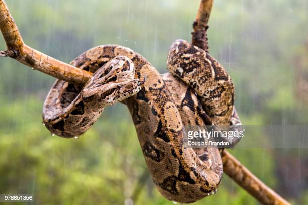 red-tailed boa (boa constrictor) snake coiled around branch in rain against blurry background, culebra, puerto rico, usa - boa stock pictures, royalty-free photos & images