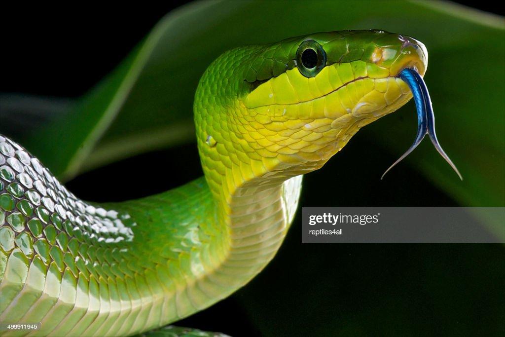 Red-tailed green rat snake / Gonyosoma oxycephalum : Stock Photo