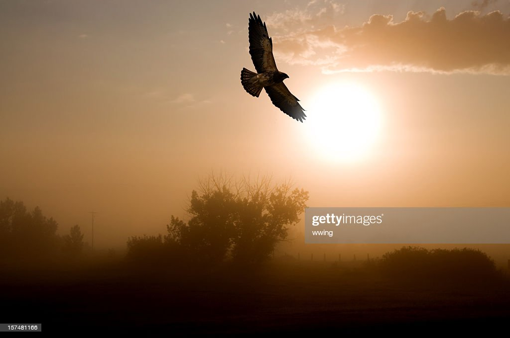 Red-tailed Hawk and a Misty Morning Sunrise. : Stock Photo