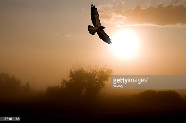 red-tailed hawk and a misty morning sunrise. - hawk stock photos and pictures