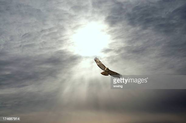 red-tailed hawk and cloudscape - hawk stock photos and pictures