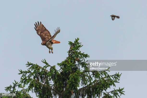 red-tailed hawk being attacked by a mockingbird - red tailed hawk stock photos and pictures