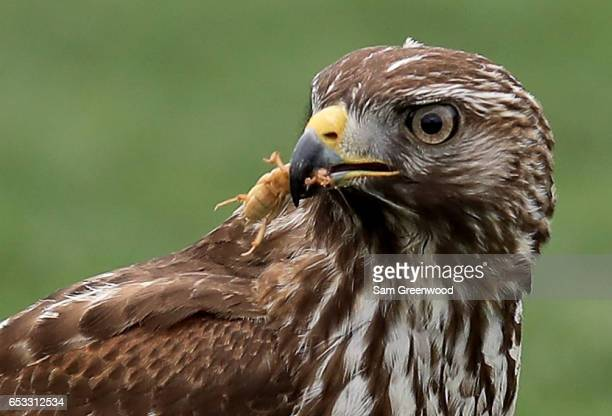 A redtailed hawk catches a mole cricket during a practice round for the Arnold Palmer Invitational Presented By MasterCard at the Bay Hill Club and...