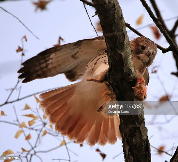 red-tailed hawk feeding on a squirrel (buteo jamaicensis ) - hawk nest stock photos and pictures
