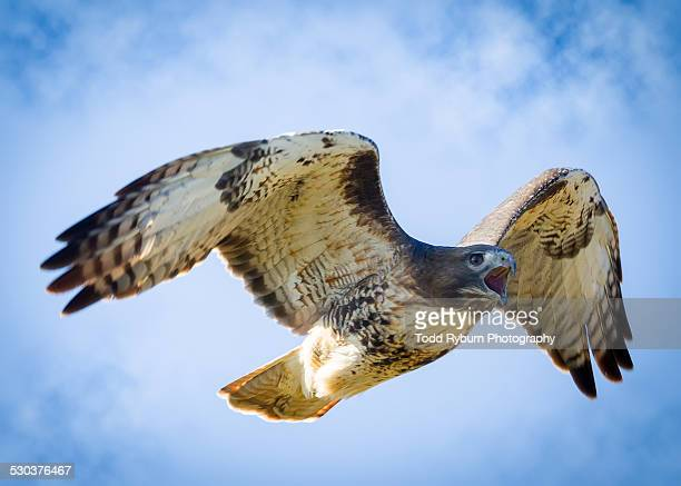 red-tailed hawk in flight - closeup - red tailed hawk stock photos and pictures