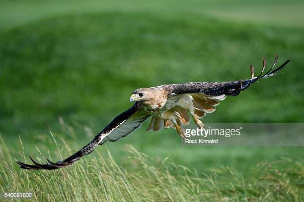 A redtailed hawk is seen during a practice round prior to the US Open at Oakmont Country Club on June 14 2016 in Oakmont Pennsylvania