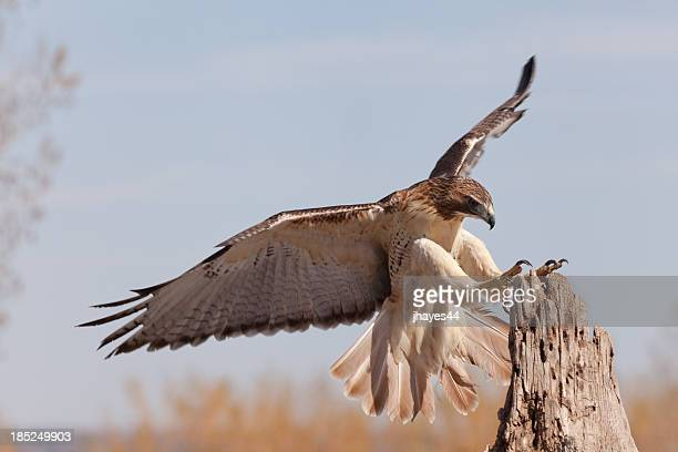 red-tailed hawk landing on a stump - red tailed hawk stock photos and pictures