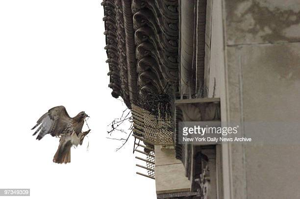 Redtailed hawk Pale Male gets to work building a new nest for himself and mate Lola on top of apartment building at 927 Fifth Ave The birds have been...