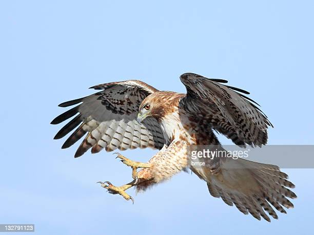 red-tailed hawk - hawk stock photos and pictures