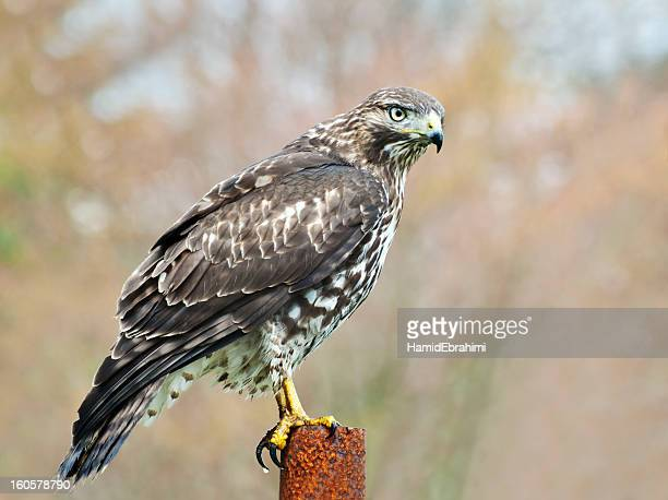 red-tailed hawk - hawk bird stock photos and pictures