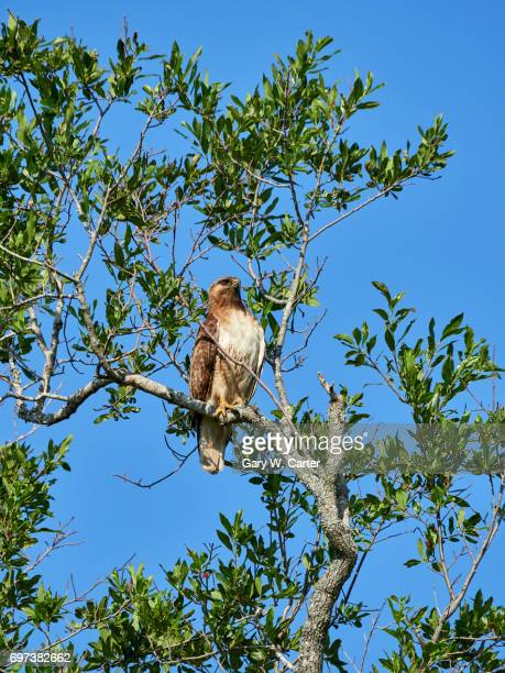 red-tailed hawk - chicken hawk stock pictures, royalty-free photos & images