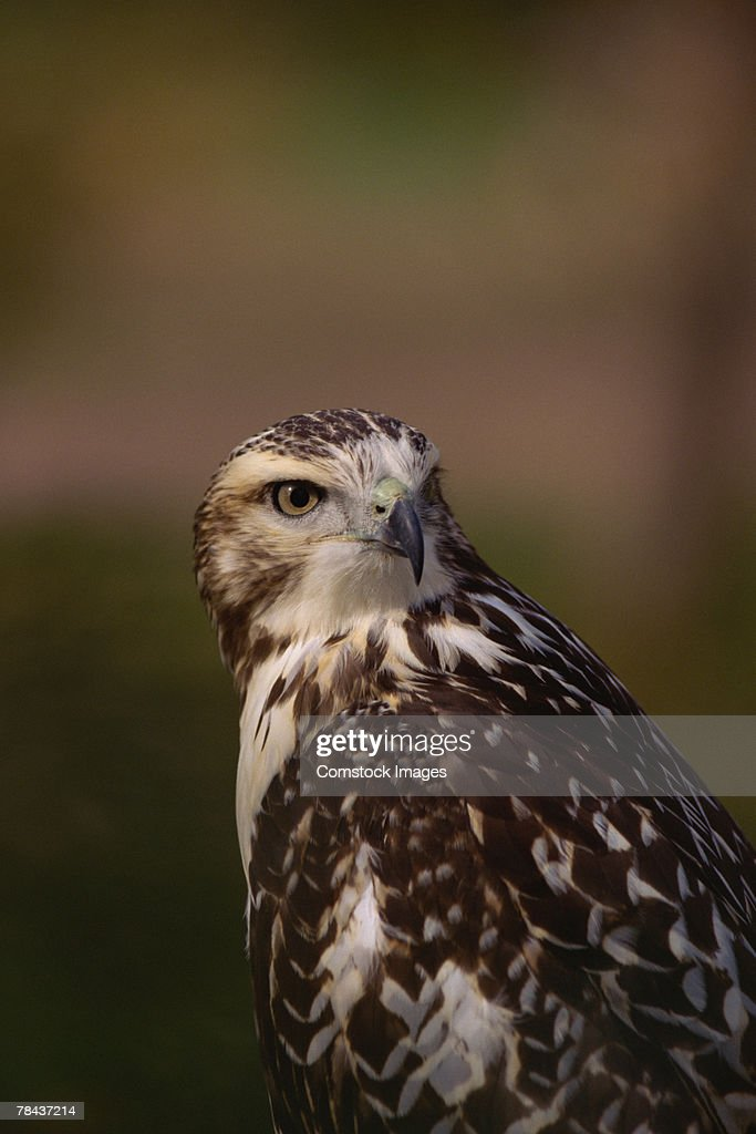Red-tailed hawk : Stockfoto