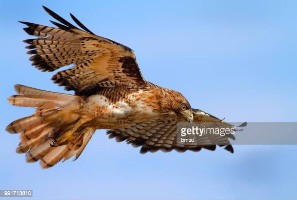red-tailed hawk - red tailed hawk stock photos and pictures