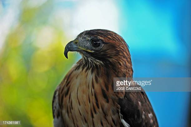 A redtailed hawk remains at the Salvadorean Bird Rescue center operated in Apopa 12 km north of San Salvador El Salvador on July 18 2013 The bird...