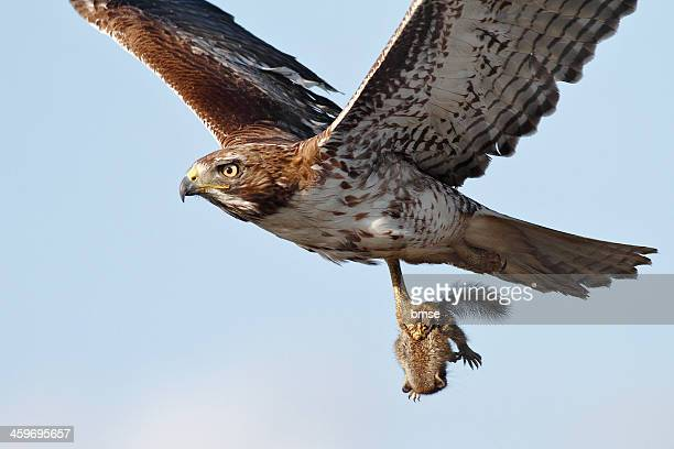 red-tailed hawk --- squirrel - hawk bird stock photos and pictures