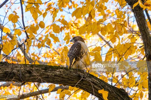 a red-tailed hawk stays at among the autumn color leaves at central park new york ny usa on nov. 04 2018. - red tailed hawk stock photos and pictures