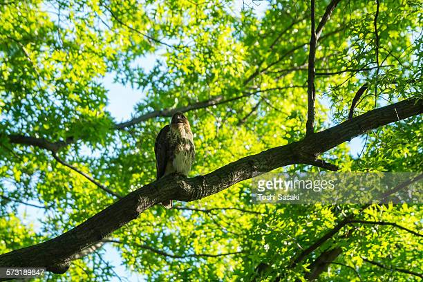 a red-tailed hawk stays on fresh green tree. - red tailed hawk stock photos and pictures