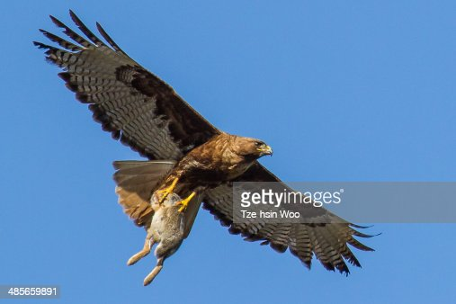 Redtailed Hawk With A Big Rabbit Stock Photo Getty Images