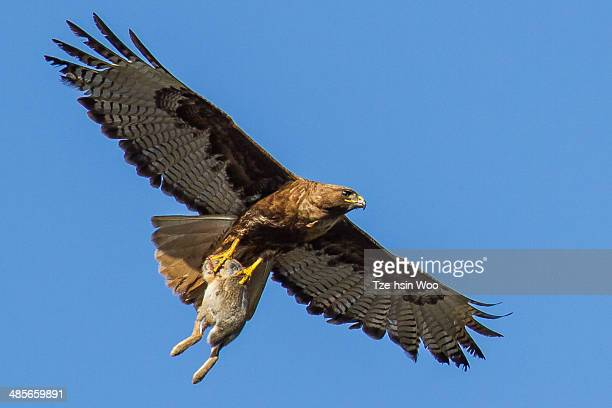 red-tailed hawk with a big rabbit - red tailed hawk stock photos and pictures