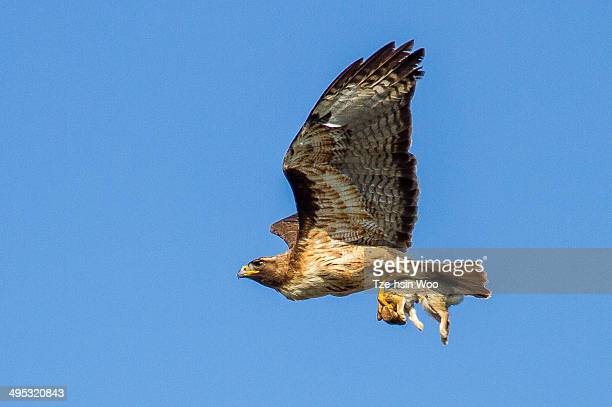red-tailed hawk with a cottontail - red tailed hawk stock photos and pictures