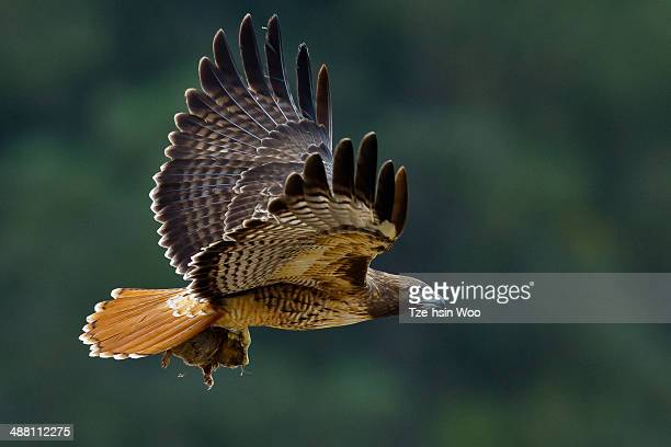 red-tailed hawk with a gopher. - red tailed hawk stock photos and pictures