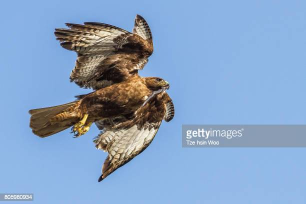 red-tailed hawk with a kingsnake - red tailed hawk stock photos and pictures