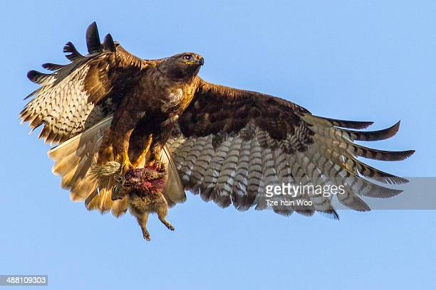red-tailed hawk with a squirrel - red tailed hawk stock photos and pictures