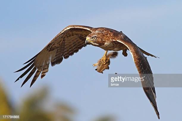 red-tailed hawk with baby squirrel - red tailed hawk stock photos and pictures