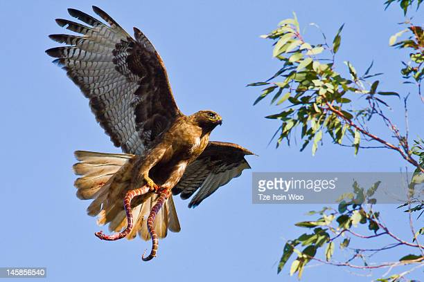 red-tailed hawk with kingsnake - red tailed hawk stock photos and pictures