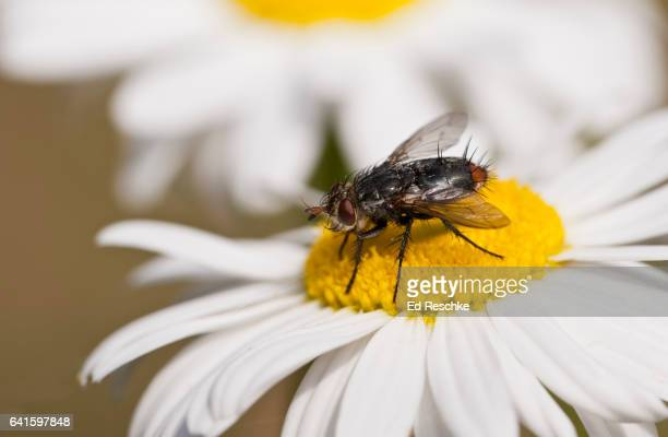 Red-tailed Tachina Fly (Winthemia rufopicta)