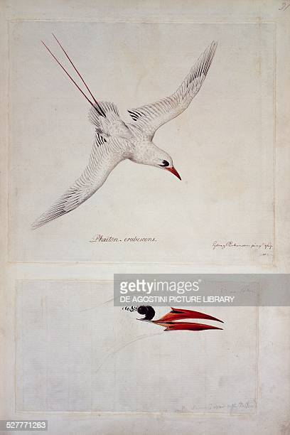Redtailed Tropicbird watercolour by Parkinson Netherlands 18th century London British Library