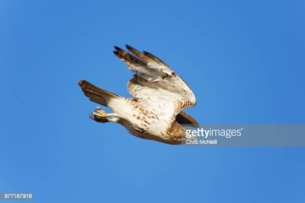 red-tailedhawk (buteo jamaicensis) diving, texas, usa - hawk stock pictures, royalty-free photos & images