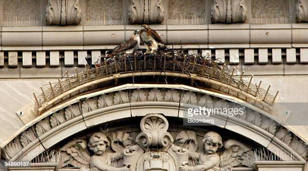 Redtale hawks Pale Male left and Lola are pictured in their nest atop 927 5th Avenue in New York Wednesday April 20 2005