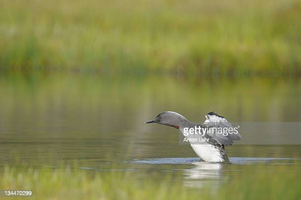 red-throated loon (gavia stellata) - vista lateral stock pictures, royalty-free photos & images