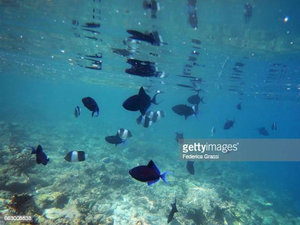 Red-toothed Triggerfish (Odonus niger) and Black Pyramid Butterflyfish (Hemitaurichthys zoster)