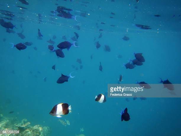 Red-toothed Triggerfish and Black Pyramid Fish