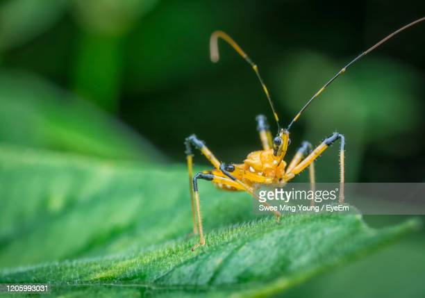 reduviidae - assassin bug stock pictures, royalty-free photos & images