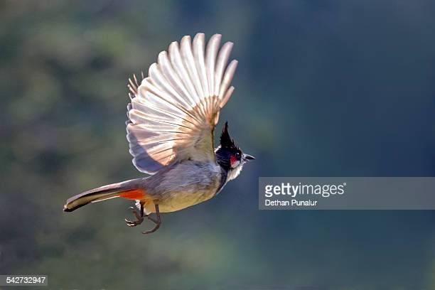 Red-whiskered Bulbul (Pycnonotus jocosus) flying