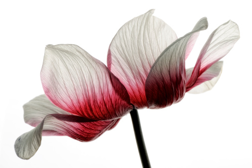 Red-white anemone in front of white background - gettyimageskorea