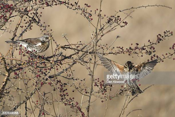 Redwing and a Fieldfare perch in a bush while feeding on berries near Rainham Marshes on January 20, 2017 in London, England. Many migratory birds...