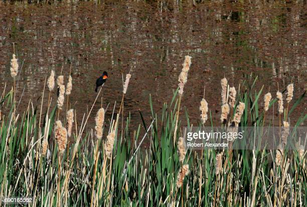 A redwing blackbird clings to a cattail plant growing in the shallow water around the edges of a pond along a nature trail in the Santa Fe Canyon...