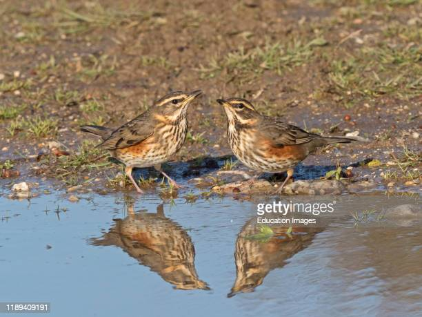 Redwing Turdus iliacus newly arrived migrants drinking at puddle North Norfolk
