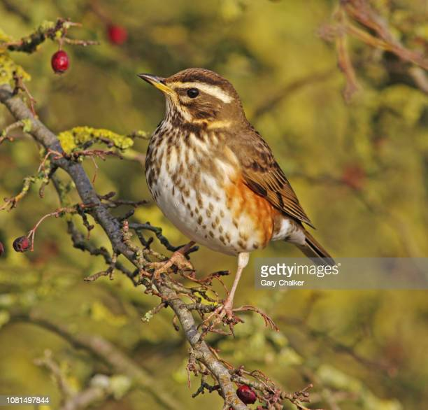 redwing [turdus iliacus] - songbird stock pictures, royalty-free photos & images