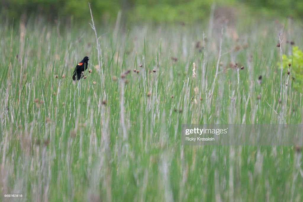 Red-Winged Blackbird In Tall Grass : Stock-Foto