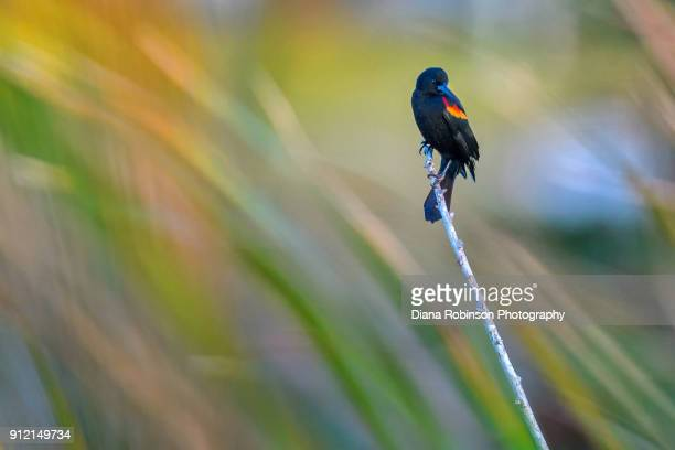 red-winged blackbird in the reeds at venice rookery, venice, florida - rookery stock pictures, royalty-free photos & images