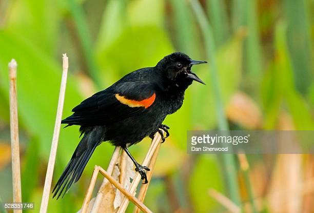 red-winged blackbird, wacodahatchee wetlands, florida, usa - dan sherwood photography stock pictures, royalty-free photos & images
