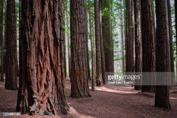 redwood avenue - tree farm stock pictures, royalty-free photos & images