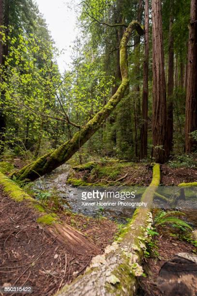Redwood Creek | Muir Woods
