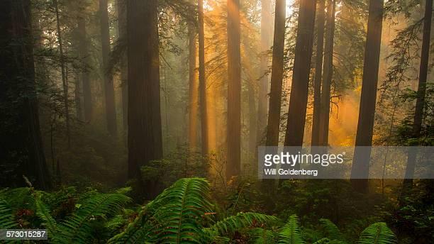 Redwood fog sunrays
